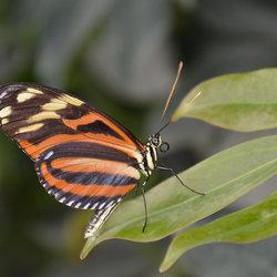 Dryadula Phaetusa.