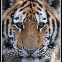Close-up tijgerwelp