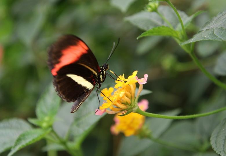 Rosina bewegelijk op het geel - De vleugels nog in beweging op naar de volgende bloem!