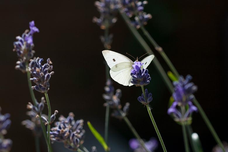 Doorschijnend wit in het paars - Veel gezien, het koolwitje op lavendel. Ze zijn er denk ik gek op!