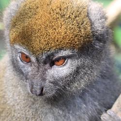 Lemur/Maki