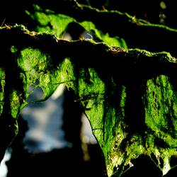 groene wieren bengelen aan mosselpalen