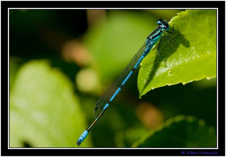 Blue Dragonfly - Na vorige week de rode libelle kwam vandaag de blauwe libelle op bezoek.<br /> Helaas was die weer zo gevlogen.