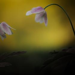 Wilde bosanemoon/ Wild wood anemone