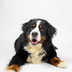 Bernersennen hond