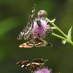 Vlinder - Landkaartje