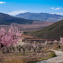 Through the Almond field....