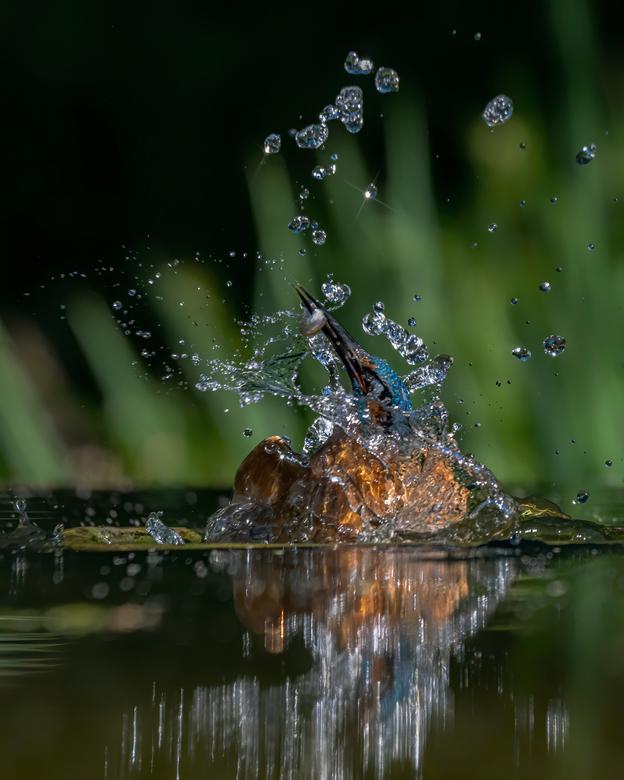Ontworstelen aan het water. - Na het succesvol vangen van een visje is het letterlijk een hele worsteling voor de ijsvogel om weer uit het water te ko