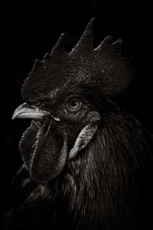 Rooster - Sinds deze zomervakantie hebben we kippen én een haan. Van hem een portet in zwartwit en lowkey.