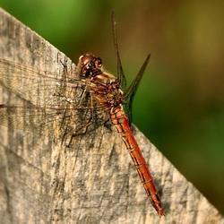 libelle in rust