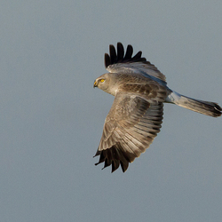 The flight of the Hen Harrier
