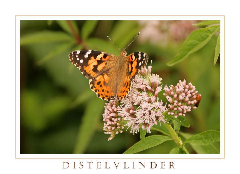 Distelvlinder - De Distelvlinder (2de generatie) op Koninginnenkruid  Een bloem die nu bloeit en veel vlinders aantrekt<br /> De Distelvlinder die hi