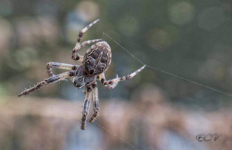 Spinnende Kruisspin - Deze spin was net bezig zijn web te maken. Na 2 pogingen, lukte de foto.