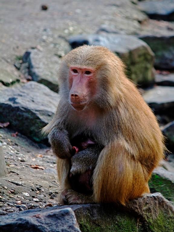 Bescherming - Baviaan jong zoekt de warmte en veiligheid bij zijn moeder.