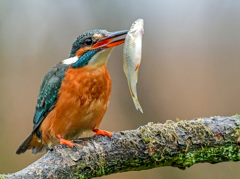 """lekker visje.... - IJsvogel heeft de buit binnen, heeft wel wat moeite met de wat """"grote"""" vis."""