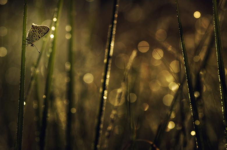 Bruine vuurvlinder - Vanmorgen deze Bruine vuurvlinder gevonden. Getracht om dit veel gefotografeerde vlindertje eens anders vast te leggen.