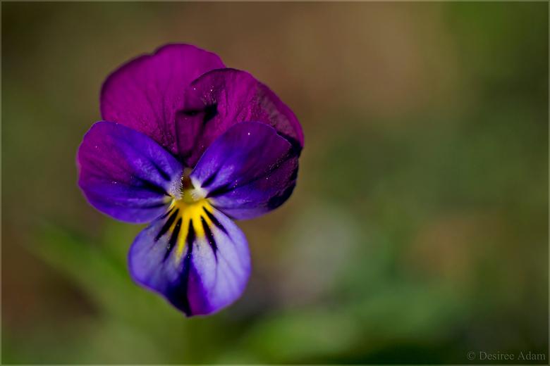 Bosviooltje - Deze hele kleine mini bosviooltjes zijn net kleine schilderijtjes. Prachtig van kleur.
