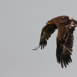 Steppe Arend (Aquila nipalensis)
