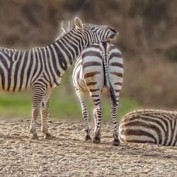Burgers Zoo-Zebra