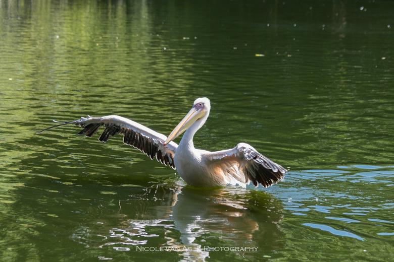 Bathtime. - Elke keer weer een feest in vogelpark Avifauna. <br /> <br /> Pelikanen nemen een bad.