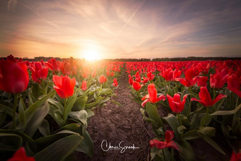 Red Tulips - Rode tulpen bij zonsondergang.<br /> Bij een prachtige zonsondergang de bollenvelden in Noordwijkerhout opgezocht. Het duurder niet lang
