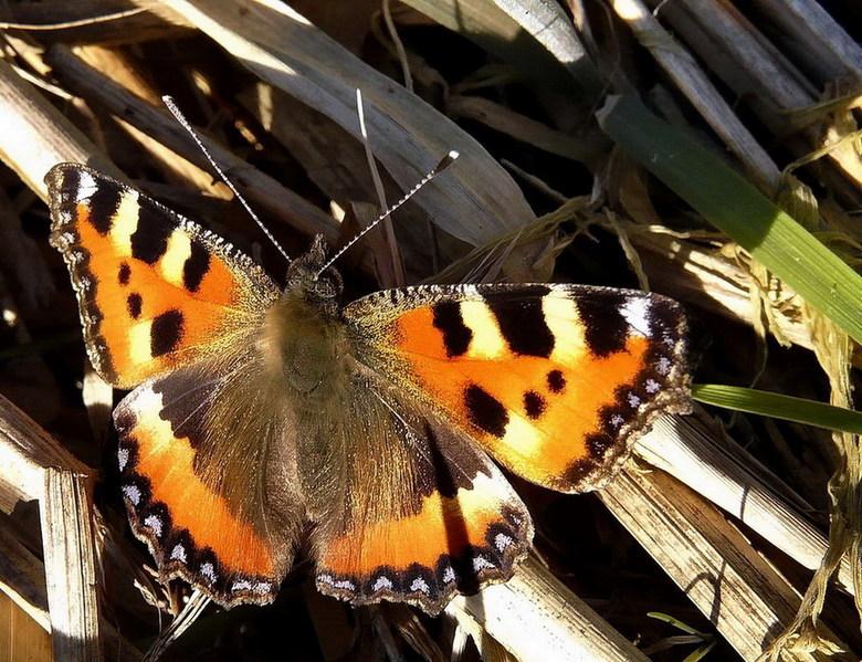 Poging 3 was raak. - De  eerste vlinder die ik van het jaar tegen kwam was bij het Naardermeer.<br /> Na drie pogingen heb ik  hem er op gekregen het