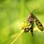 Schorpioenvlieg vrouw