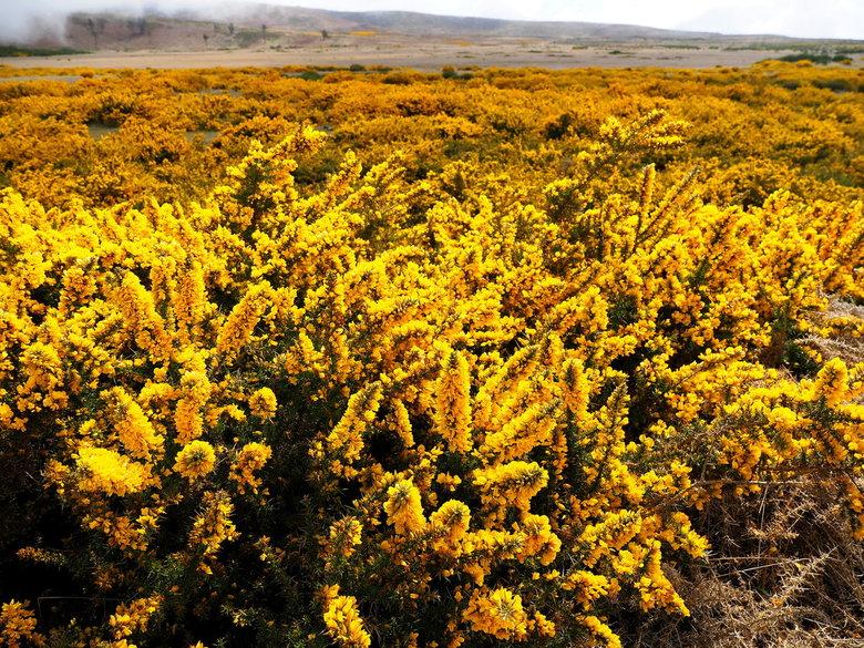 Mijn Reizen - Het is een prachtig  gezicht  als je zo hele velden vol in bloei ziet. <br /> <br />  Bedankt voor de reacties<br /> <br />  groeten