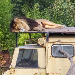 Luie leeuw