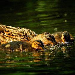 Grazende eendenfamilie