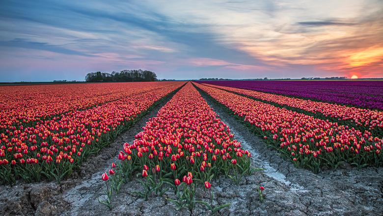 National Pride - Ook de tulpen staan weer heel Hollands te bloeien. Deze foto is genomen in Flevoland, waar het altijd lekker rustig is.