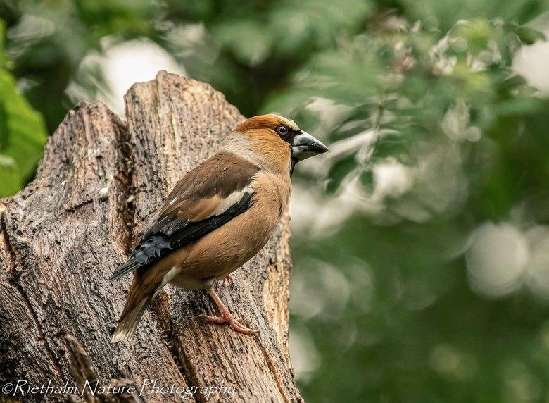 appelvink - De appelvink is een mooie vogel om te zien, duidelijk een vink, maar een stuk groter dan de gewone vink. Mooie kleuren en strenge blik