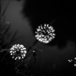 Blaasbloemen