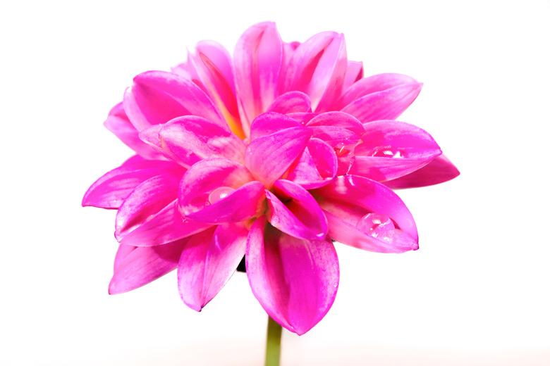 Roze bloem -