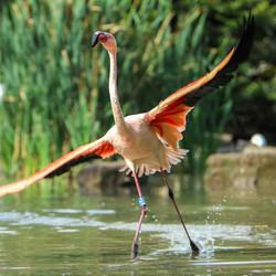 Flamingo vleugels strekken