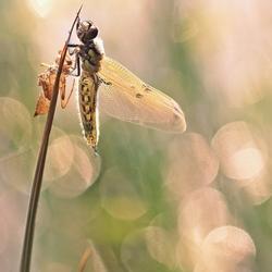 Viervlek libelle in het vroege ochtend licht..