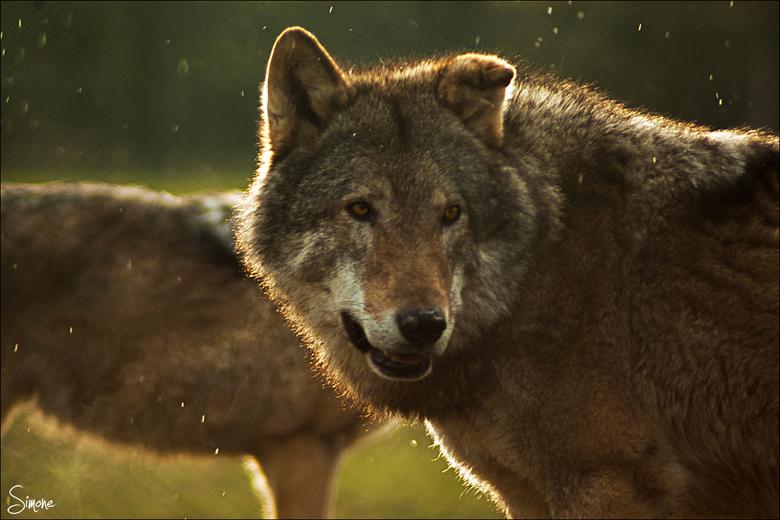 Wolf - Wolf in de sneeuw