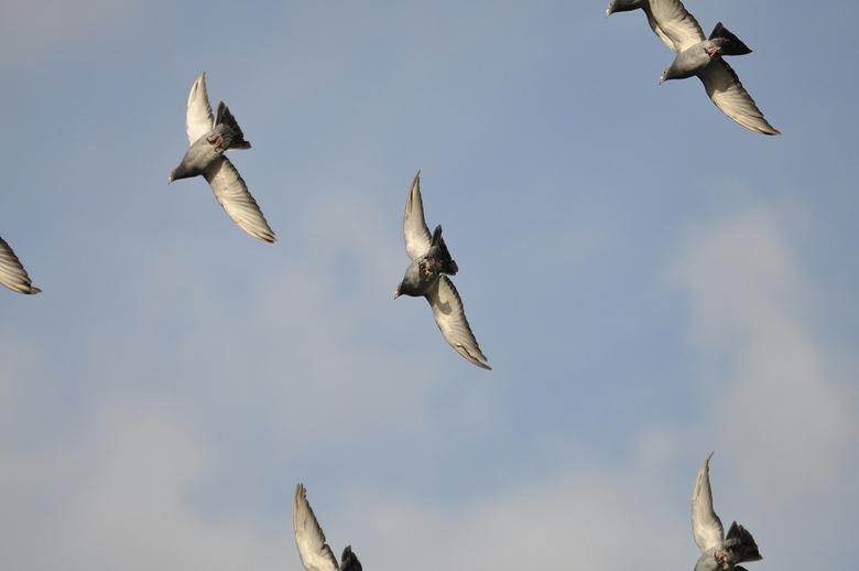 Even VogelVrij - Jaaps Postduiven werden even losgelaten..<br /> Ook weer zo,n wondere wereld ...<br /> Een koppel van 30 cirkelde boven zijn huis .