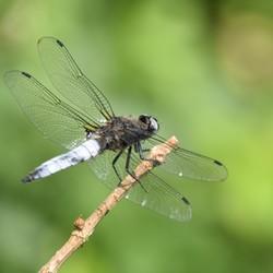 Platbuiklibel met zijn ragfijne vleugeltjes