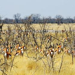impalas on the move