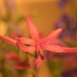 Helios bloem