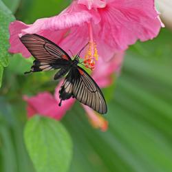 chinese roor met vlinder 2