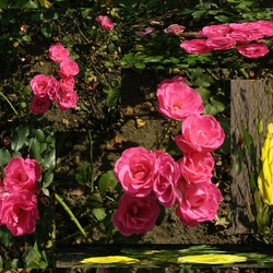 Pink Ribbon met gele en roze rozen