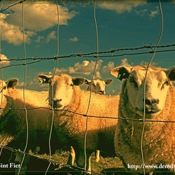 A sheep vintage picture