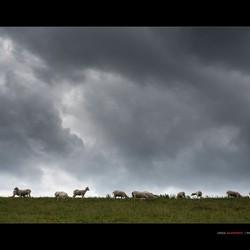 Naked sheeps
