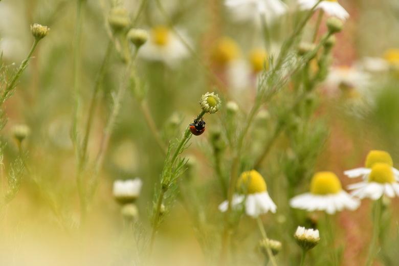 ondersteboven op weg naar de top - klein lieveheersbeestje in een bloemenveld
