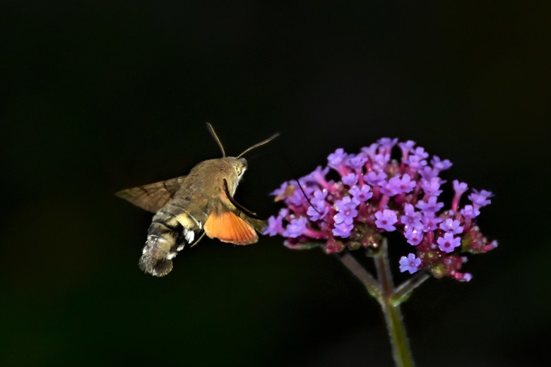 kolibrievlinder in de .. - vroege ochtendschemer vandaar een mooie zwarte achtergrond.Allen bedankt voor het kijken reageren en stemmen op de vorige f