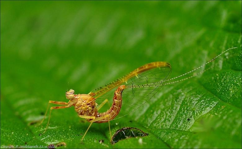 eendagsvlieg - bedankt voor de rea op m,n vorige foto met<br /> de titel Sprutter(gronings)<br /> <br /> de eendagsvlieg heb ik nog niet eerder gef