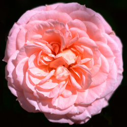 The Rose of Love 2