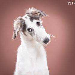 Barzoi puppy door Pet Studio | Hondenfotograaf Sanne Mik